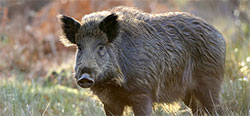 Hog/Wild Boar
