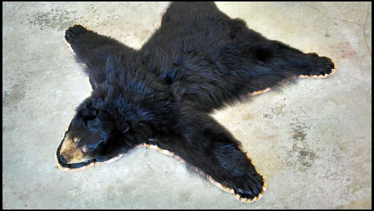 Bear Skin Rug without Head