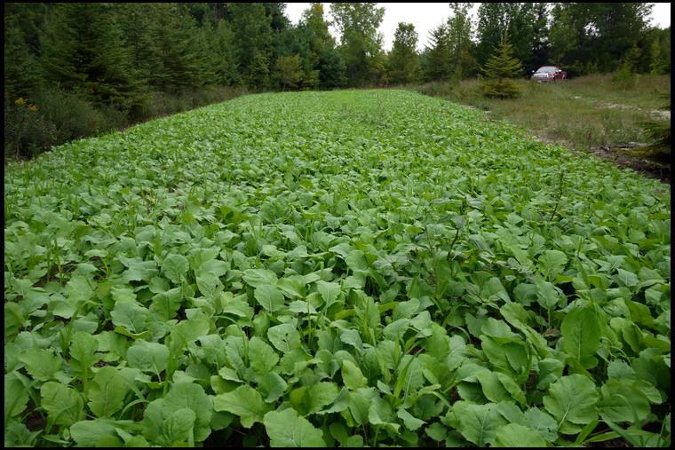 How Early Can You Plant A Food Plot For Deer