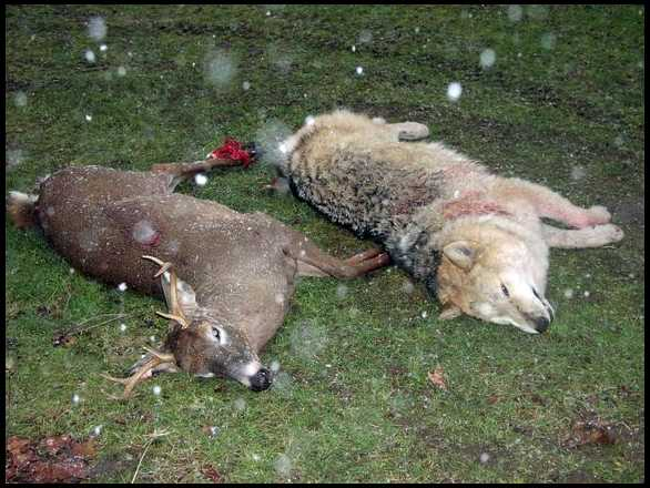 Biggest Coyote Ever Killed