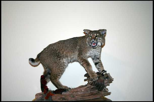 The gallery for --> Bobcat Mounts Ideas